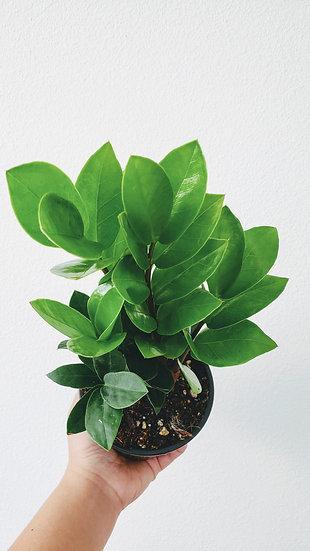 Zamioculucas Zamiifolia