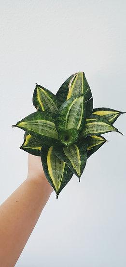 Sansevieria Hahnii - Golden