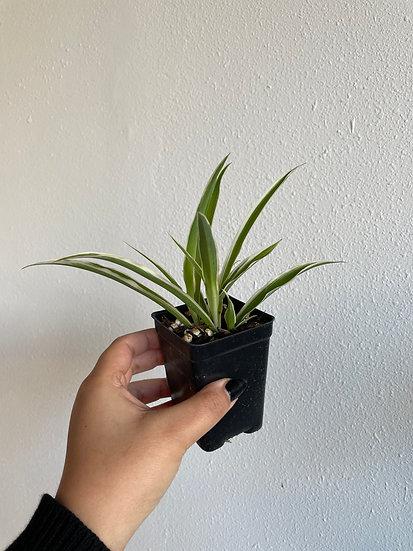 "Chlorophytum Comosum ""Vittatum"""