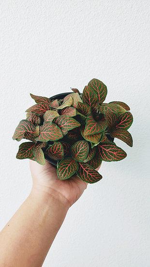 Fittonia Albivenis  - Red