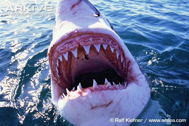 Great-white-shark-jaws.jpg