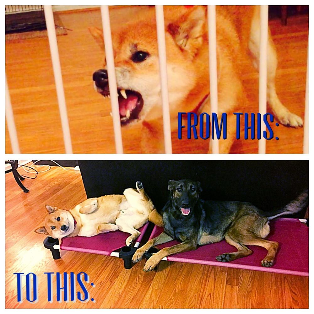 Dog Aggression training to Docile dog