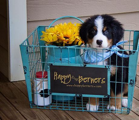 HAPPY BERNERS | AKC Bernese Mountain Dogs | QA