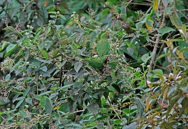 How many Parakeets?