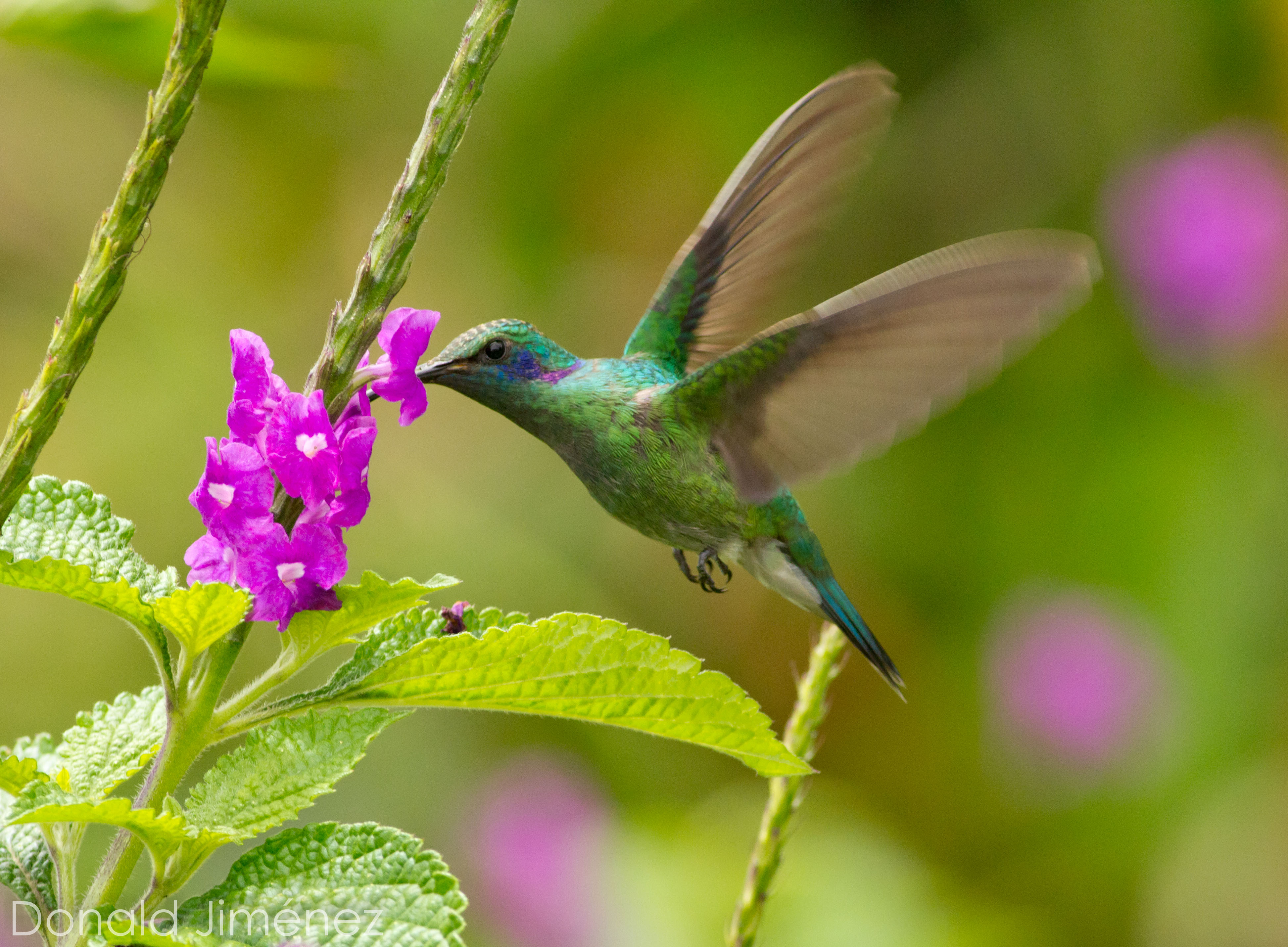 Green Violet-ear (Colibri thalassinus)