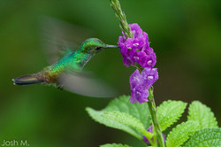 Blue-chested Hummingbird (Amazilia amabilis)