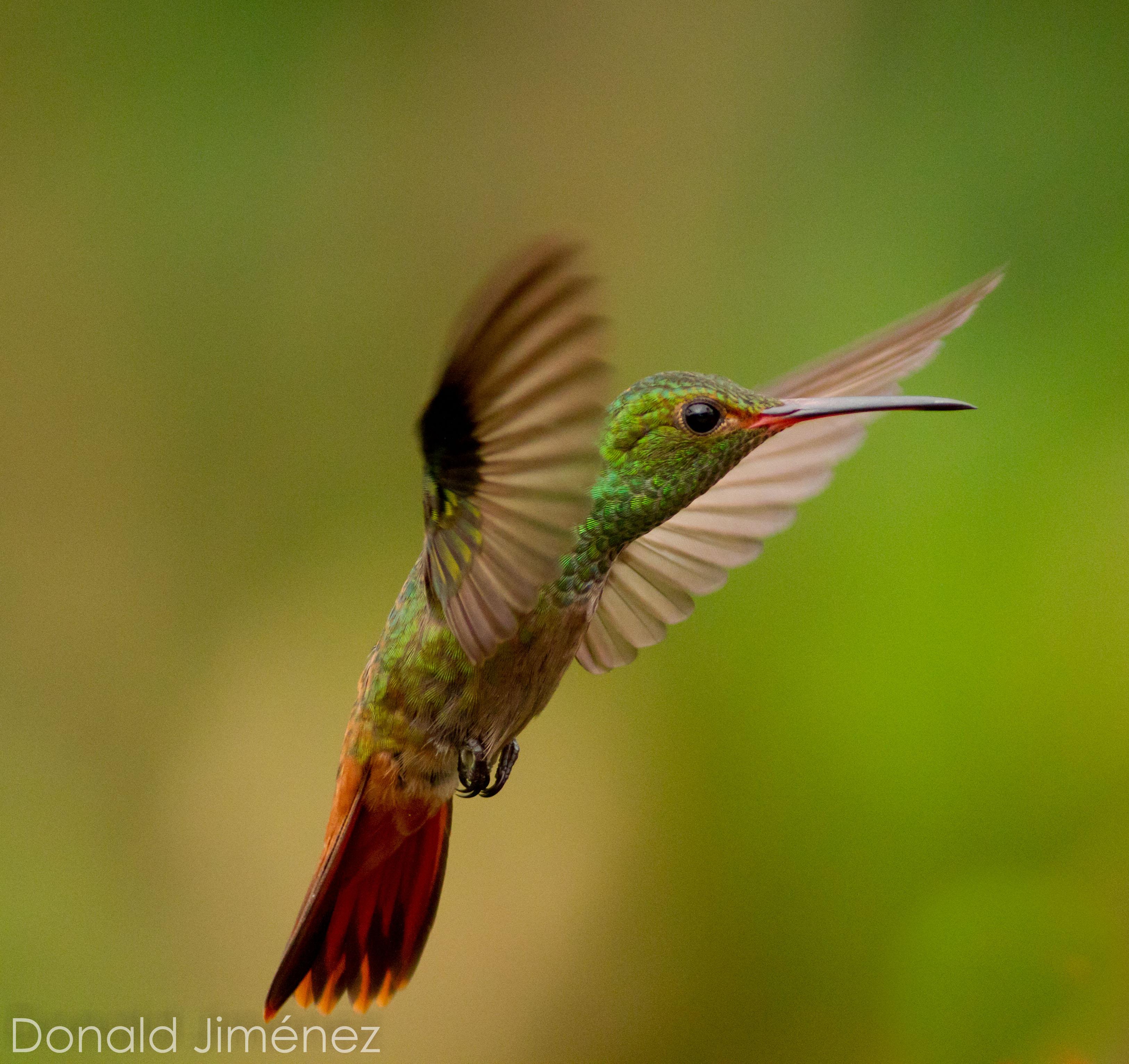 Rufous-tailed Hummingbird  (Amazilia tzacatl) (5)