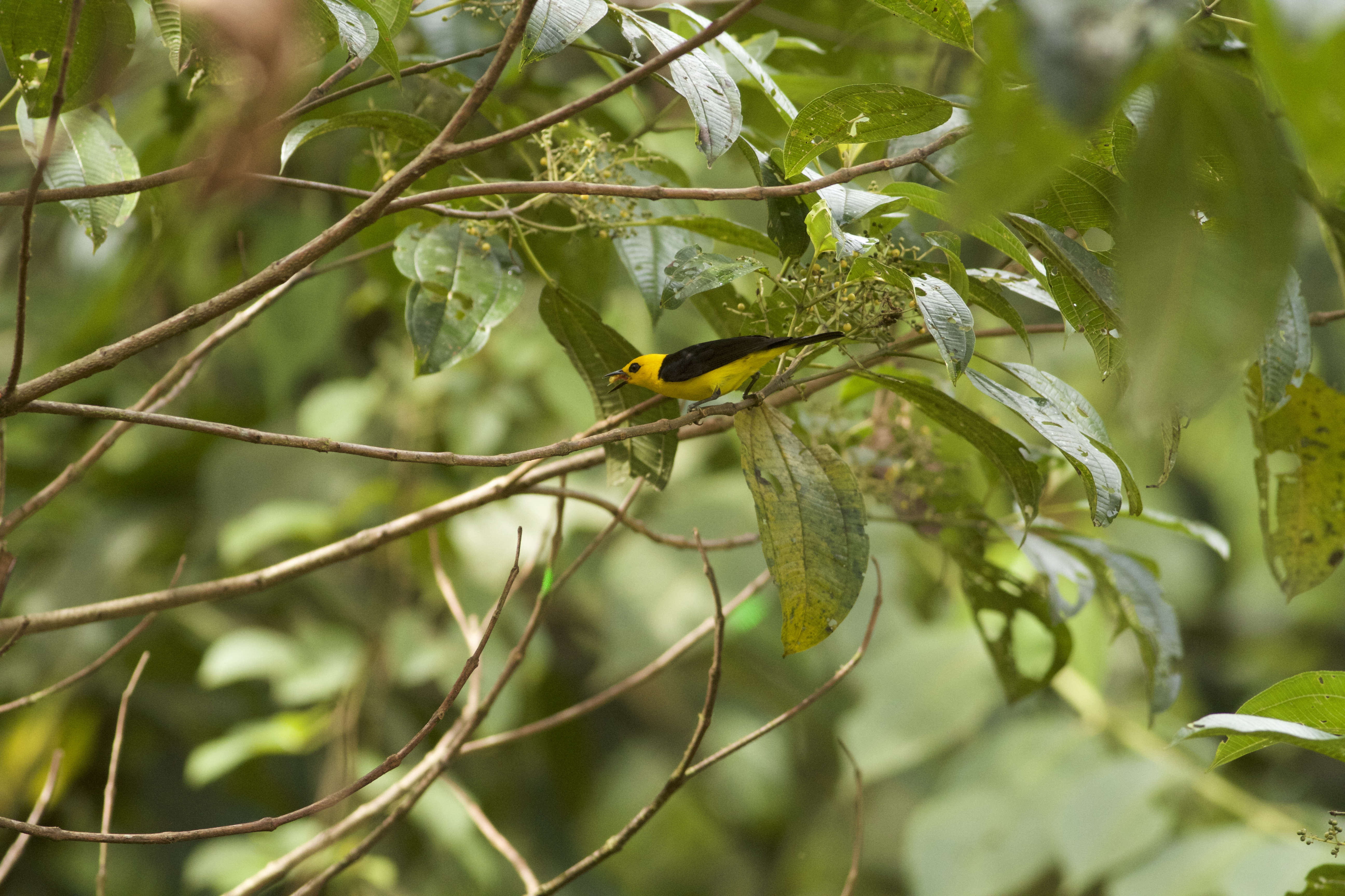 Black and yellow Tanager