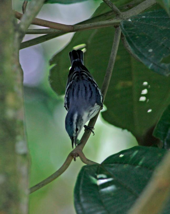 Cerulean Warblers