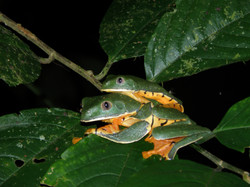 Agalychnis calcarifer
