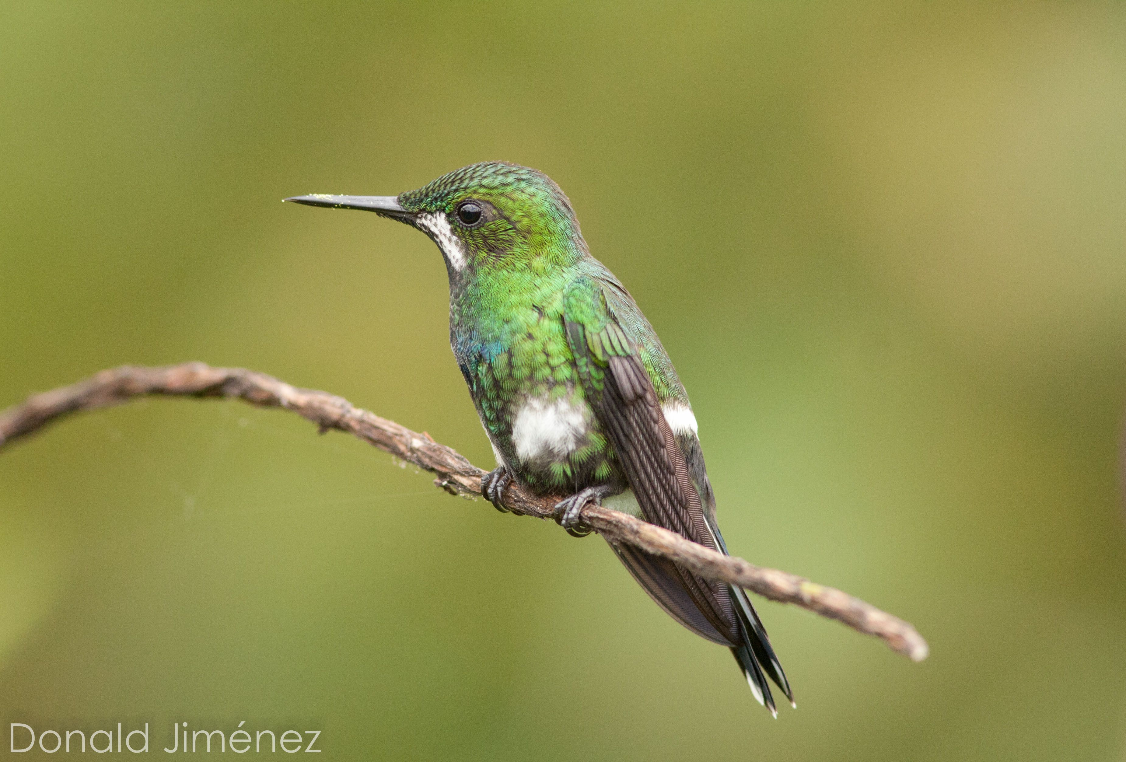 Green Thornthail (Discosura conversii)  (2)