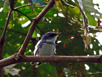 Birding and Nature Festival – IV Cerulean Warbler Count