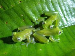 Teratohyla spinosa