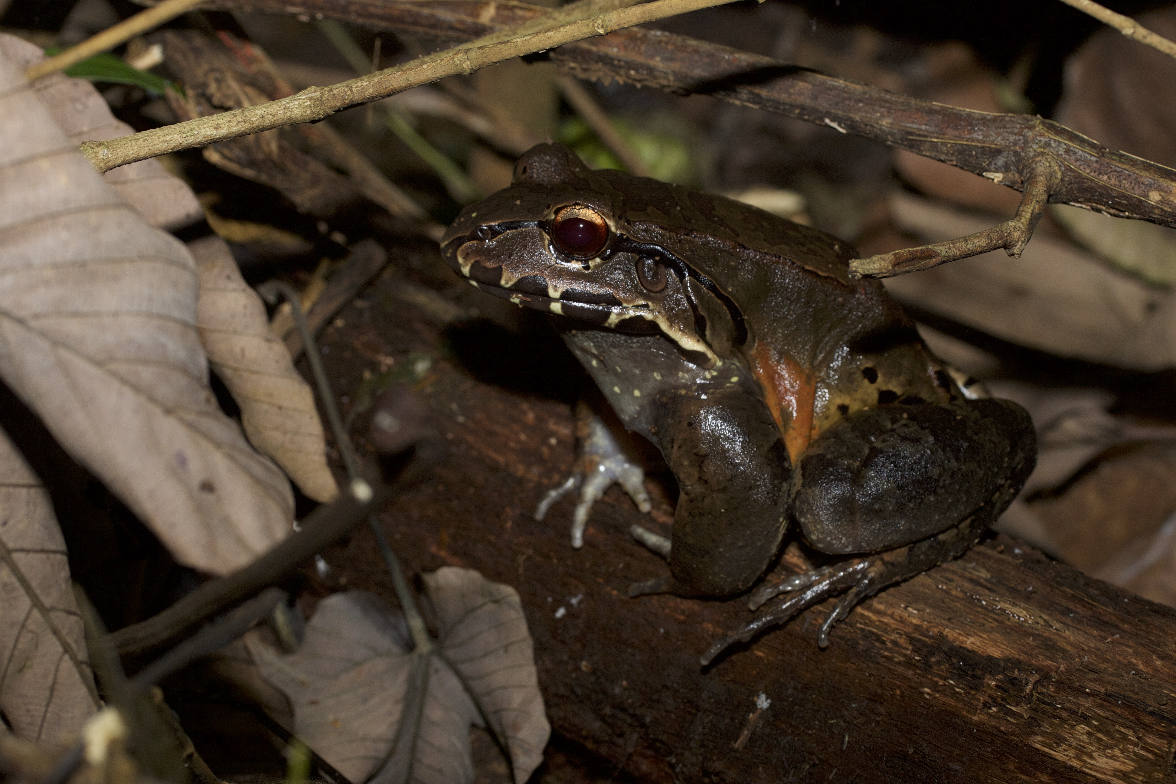 Leptodactylus savagei