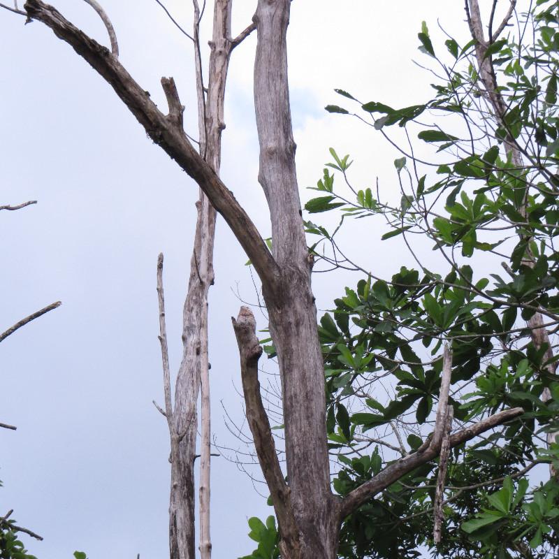 Great Potoo (Nyctibius grandis) | Las Brisas Nature Reserve Costa Rica