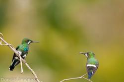 Green Thornthail (Discosura conversii)  (1)