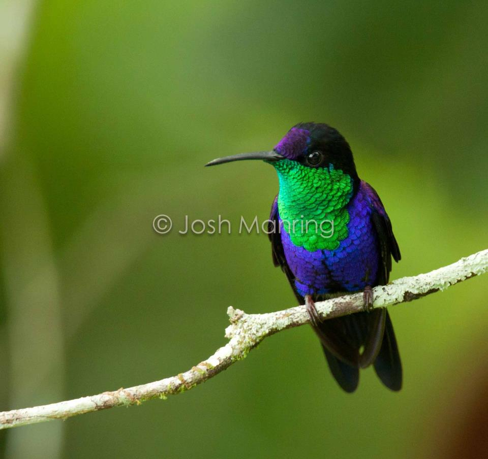 Violet-crowned Woodnymph (Thalurania colombica) male (2)