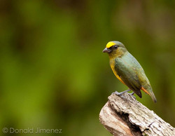 Olive-backed Euphonia (Euphonia gouldi) male