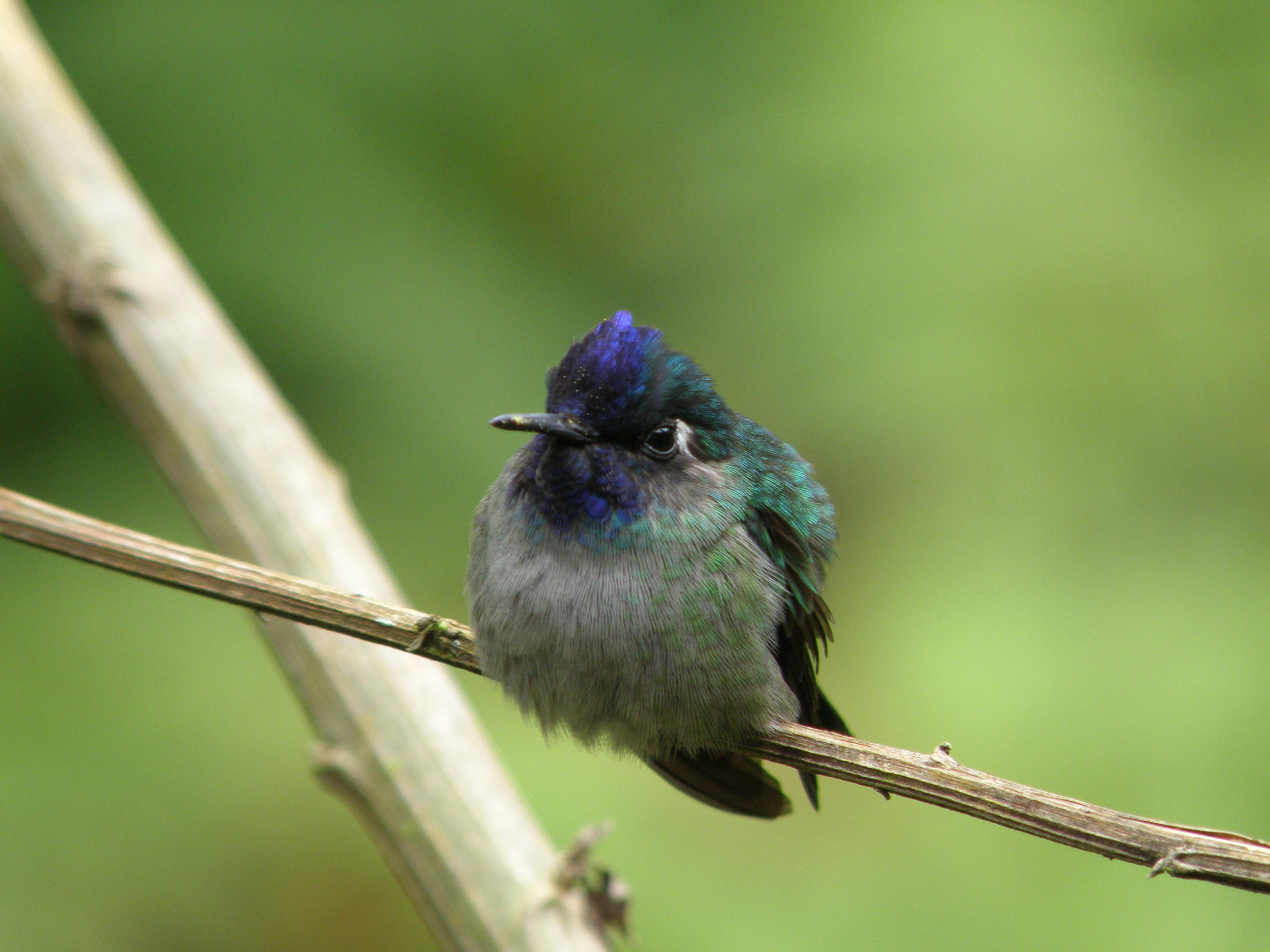 Violet-headed Hummingbird (10)
