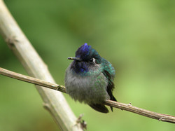 Violet-headed Hummingbird (10)