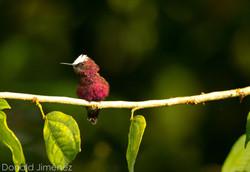 Snowcap (Microchera albocoronata) Male
