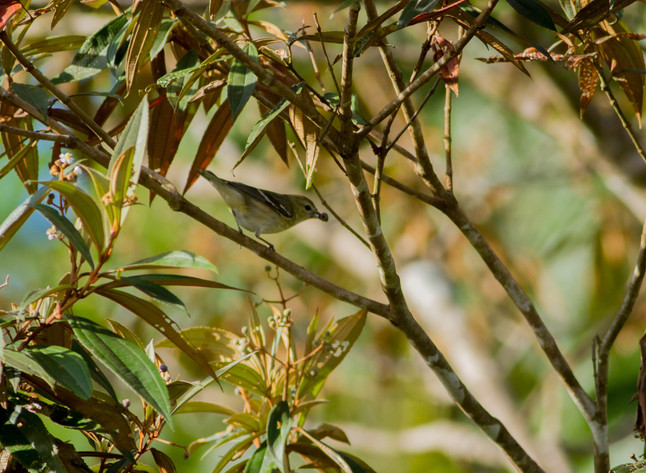 New warbler at the reserve!