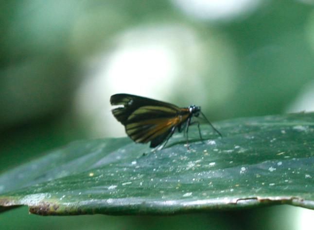 Chagres Skipper - First time found in Costa Rica
