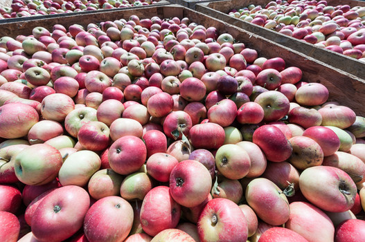 apples ready to be pressed