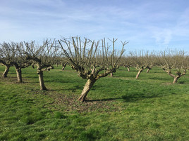 pruned trees spring 2017