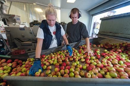 apple grading before they drop into the water bath