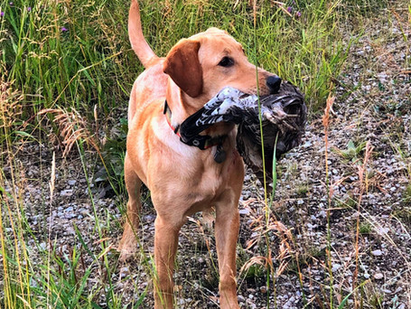 Brookie with a grouse.jpeg