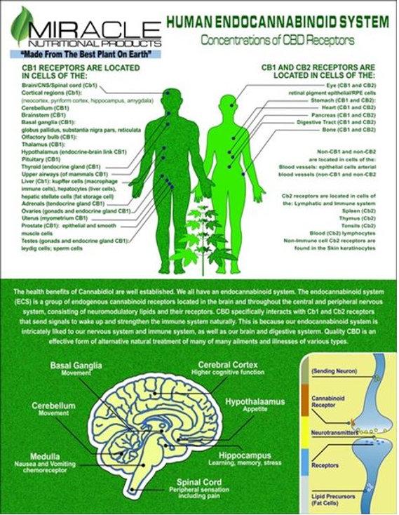 human-endocabinoid-system_orig.jpg