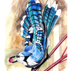 blue jay watercolour.jpg