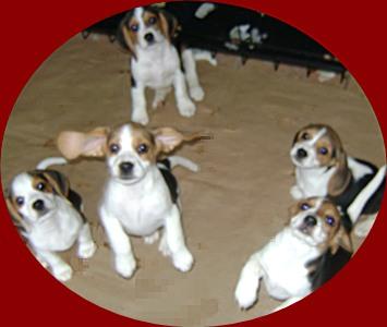 beaglepupsears