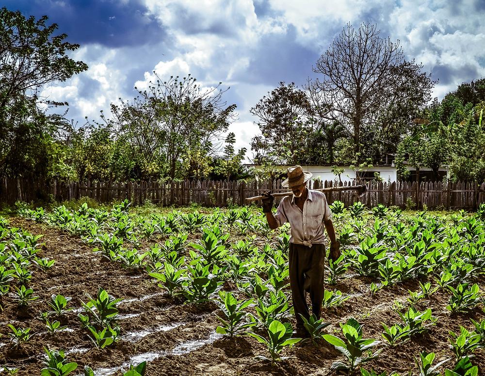Flickr - Cuba, tobacco