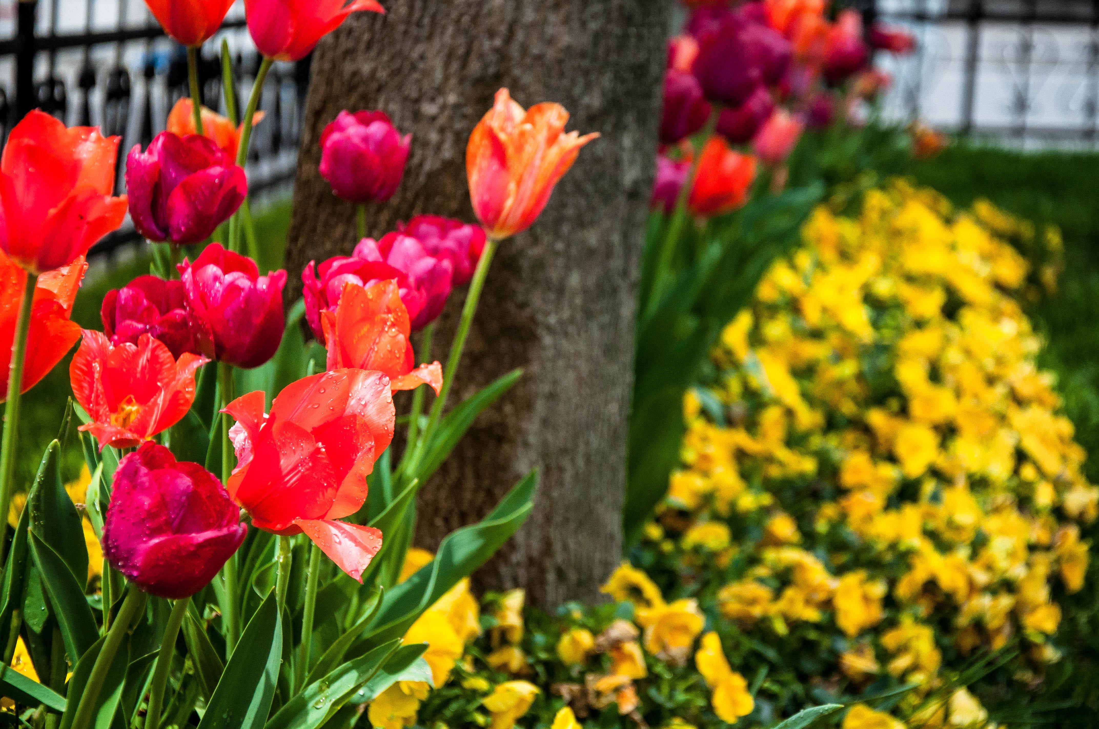 Flickr - Schegge di Istanbul, tulipano il magnifico.jpg.jpg.jpg