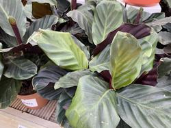 Calathea - Prayer Plants