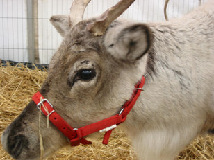 Santa arrives in his Reindeer Grotto on 19th November!