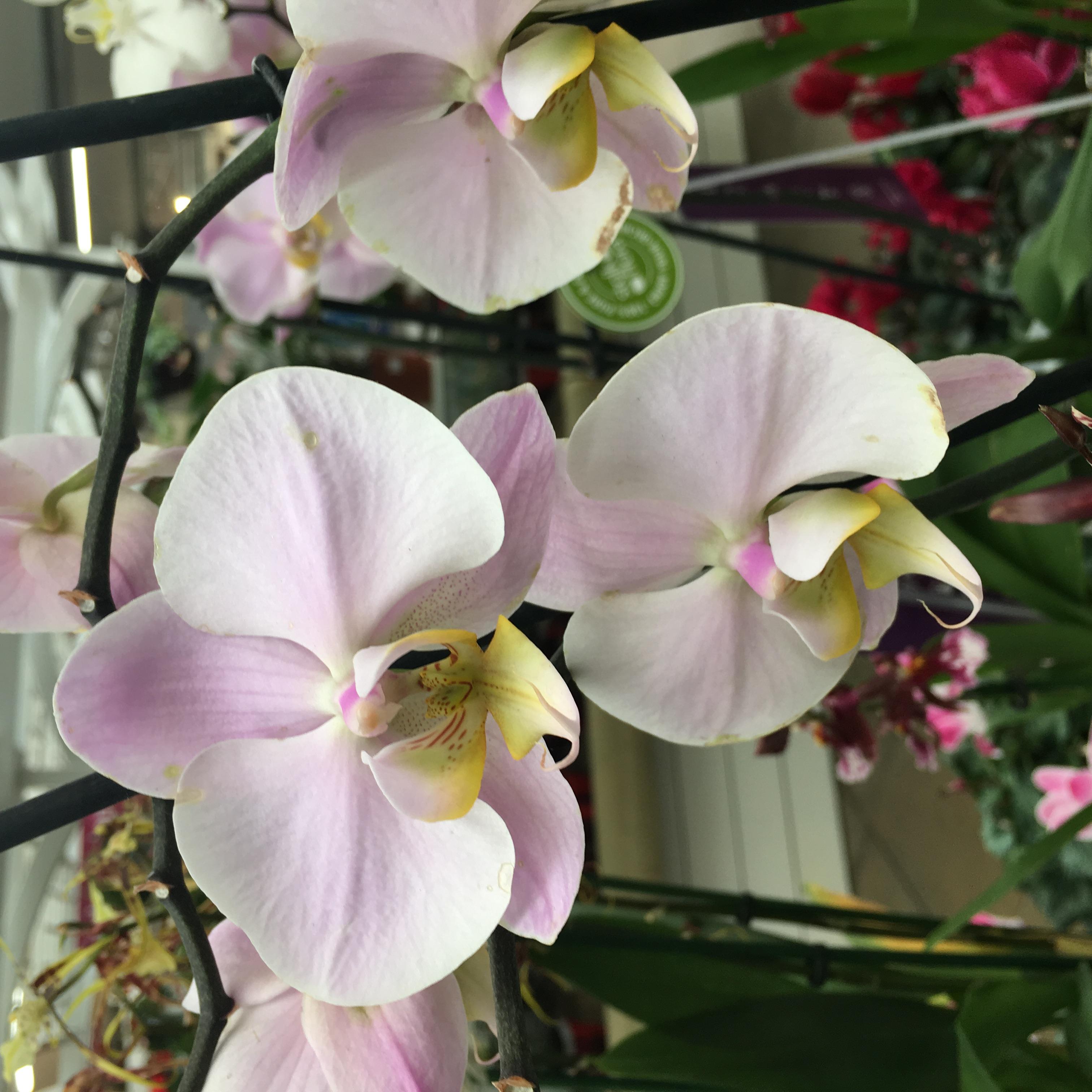 Orchid/Phalaenopsis