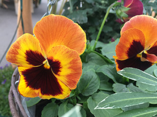 Mixed Winter Pansy 6 pack HALF PRICE!