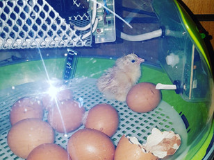 Our first chicks have arrived...we are so EGG-cited!