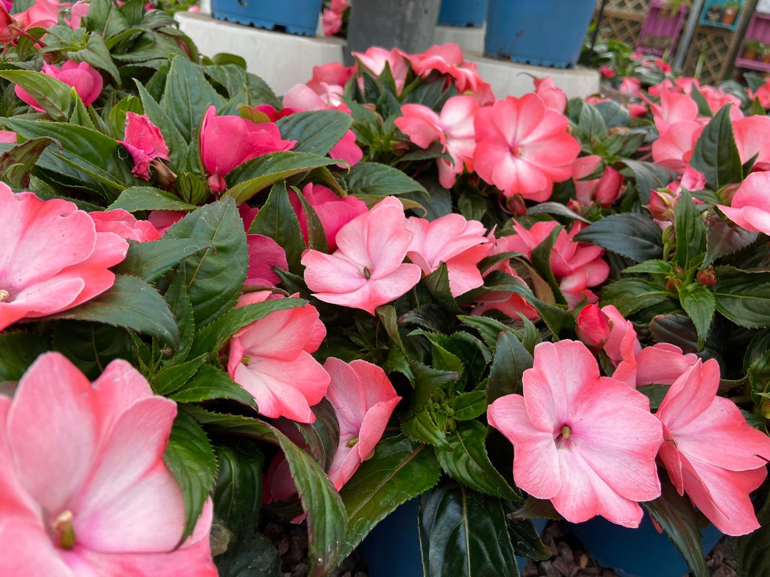 Busy Lizzies- Impatiens
