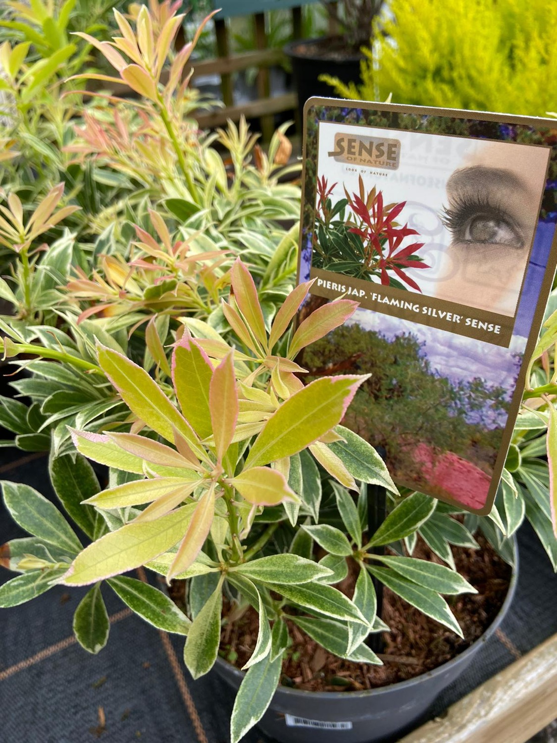 Pieris 'Flaming Silver' Sense