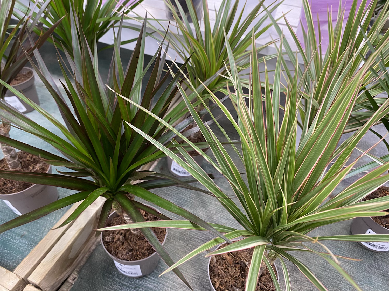 Dracena marginata - Dragon Plant