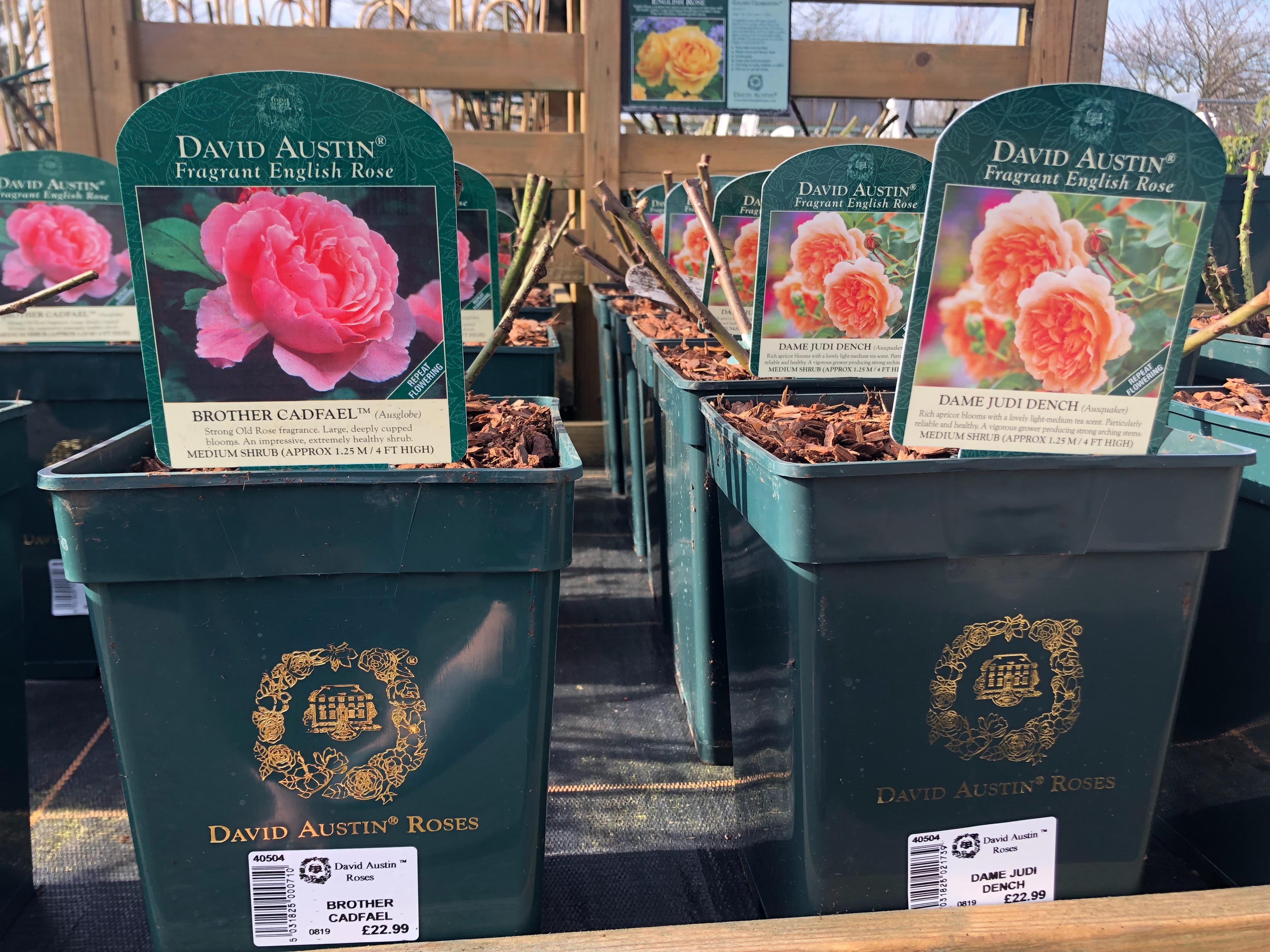 David Austin Bush Roses