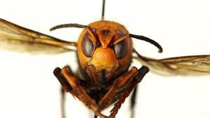 What we Know About the Asian Giant Hornet