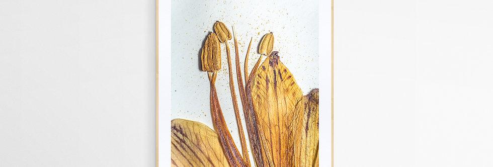Cuadro flor seca Alstroemeria Achirae 1