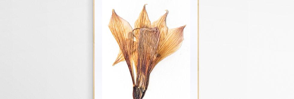 Cuadro flor seca Alstroemeria Marticorenae 2