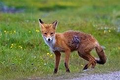 renard roux.jpg