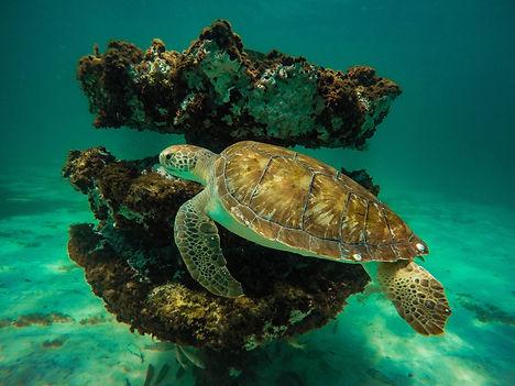 Green Turtle_rock.jpg